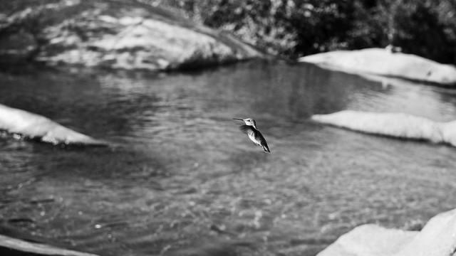 TBT: THE HUMMINGBIRD CAPTURE